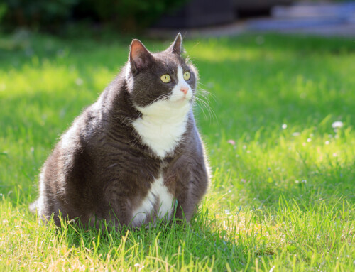 5 Tips for Keeping Your Cat at a Healthy Weight